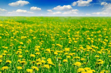 dandelions on spring field Stock Photo - 2993084