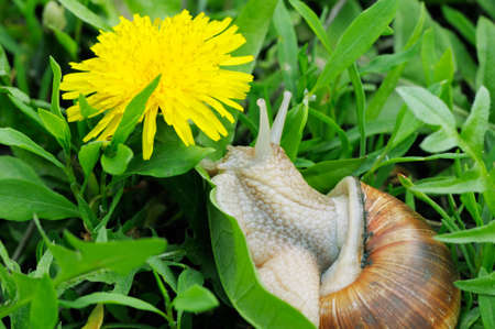 grape snail: Grape snail on a green grass Stock Photo