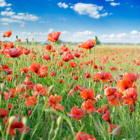 red poppies on green field Stock Photo - 3004803