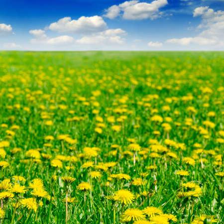 dandelions on spring field Stock Photo - 3098148