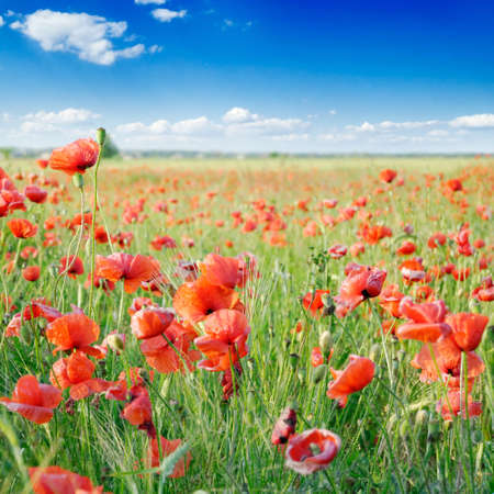 red poppies on green field Stock Photo - 3098126