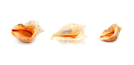 Sea shells isolated on a white background                                     photo