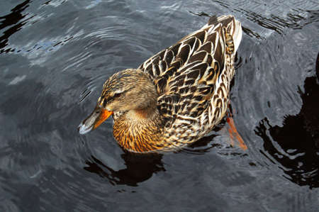 duck bathes in lake                                     photo