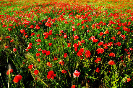 herbage: red poppies on green field                                     Stock Photo