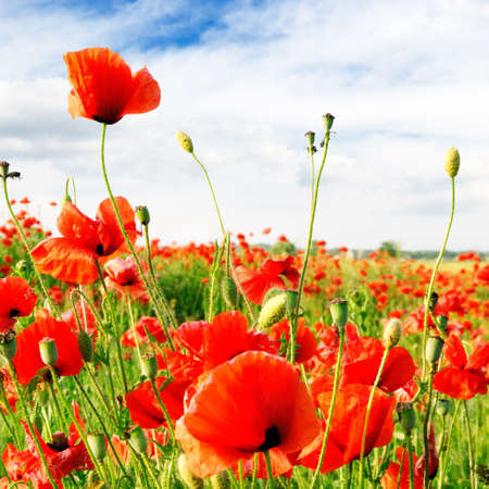 red poppies on green field                                    Stock Photo - 3753225