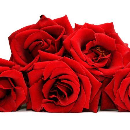 Hermoso aislados rosas rojas sobre fondo blanco