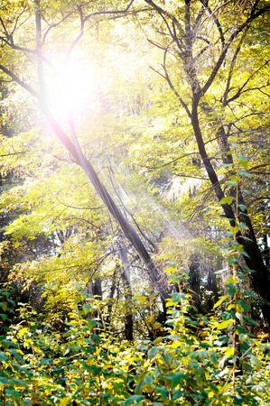 sun rays in wood                                     photo