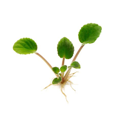 vegetate:  Young plant isolated on a white background
