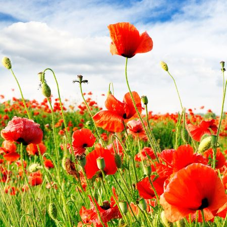 red poppies on green field Stock Photo - 3895042