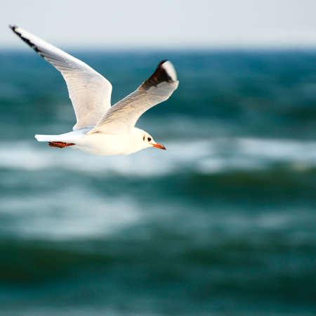 wingspan: sea gull on background sky