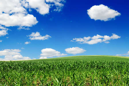 maize field Stock Photo - 4262152