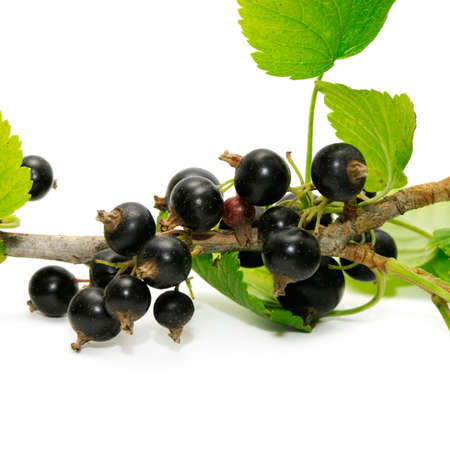 bacca: black currant isolated on a white background  Stock Photo