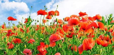 gelincikler: poppies on green field Stok Fotoğraf
