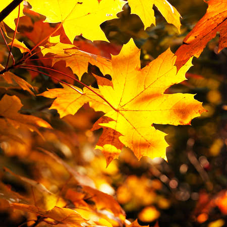 maple leaves                                     Stock Photo - 5314521