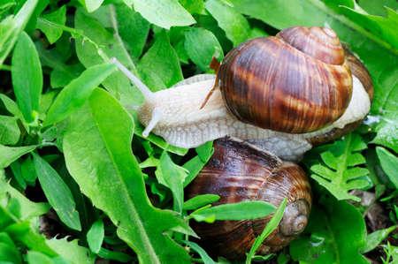 edible snail: edible snail in grass