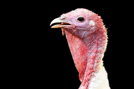 turkey hen: Gallina de Turqu�a sobre un fondo negro