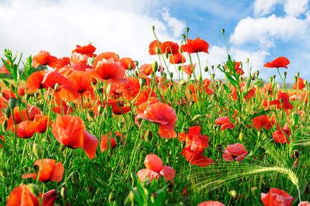 poppies on green field                                     photo