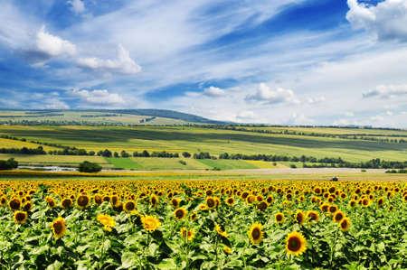 sunflower field                                     Stock Photo - 6185593