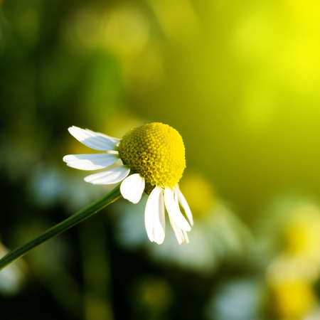 chamomilla: Daisy stretches toward the sun. Matricaria chamomilla.                                                       Stock Photo