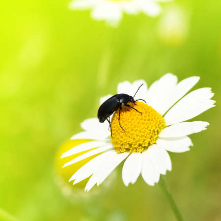 hexapod: Insect crawling on camomile