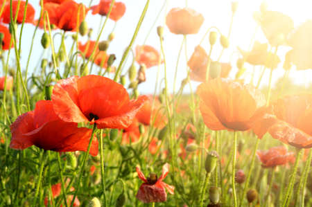 poppy leaf: red poppies in rays sun