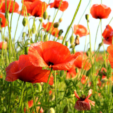 poppies on green field Stock Photo - 6679232
