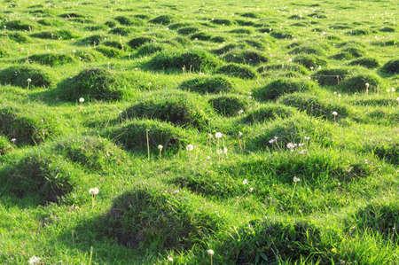 molehill:  Molehill covered by a grass.