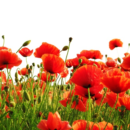 red poppies on green field: red poppy isolated on a white background Stock Photo
