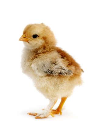美麗的雞被隔絕在白色背景