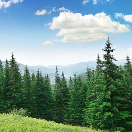 Beautiful pine trees on background high mountains.                                     photo