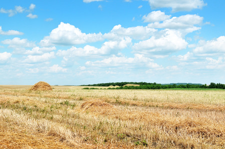 rick: Wheat field after harvest                                     Stock Photo