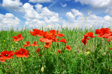 poppies on green field                                     photo