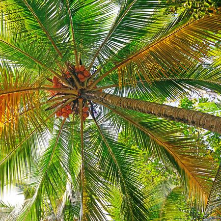 beauteous: coconut tree in closeup shot