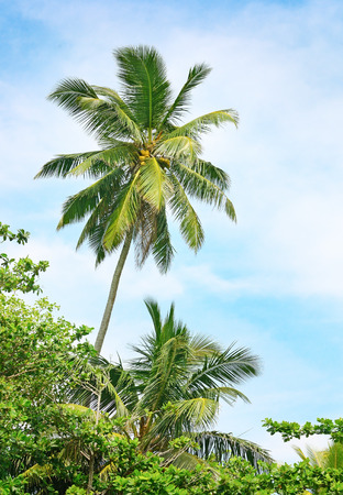high palm on background of blue sky                                     photo