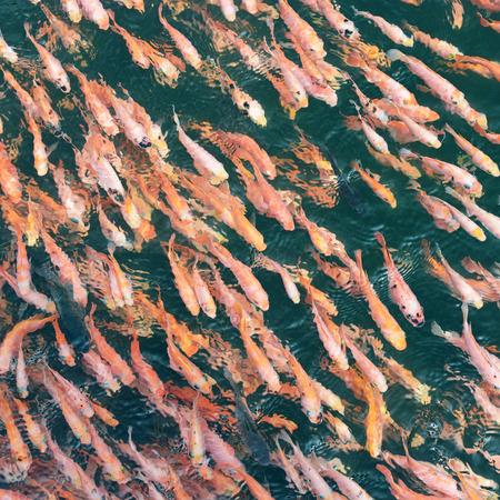fish breeding: school of fish in the water                                     Stock Photo