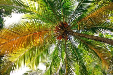 beauteous: coconut tree