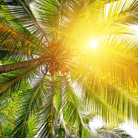 coco palm: sunlight through the leaves of palm trees