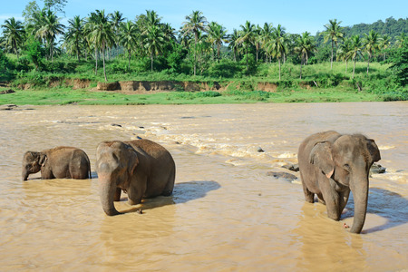 Elephants bathing in the river                                     photo