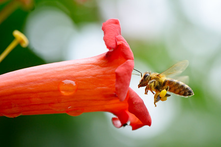 busy bees: honey bee collects flower nectar