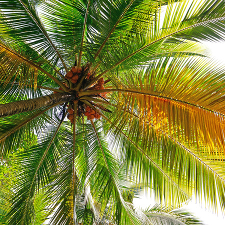 droop: coconut tree background                                     Stock Photo