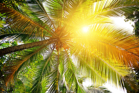 sunlight through the leaves of palm trees                                     photo