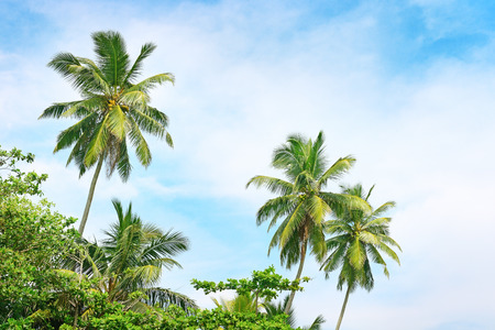 ramification: high palm on background of blue sky                                     Stock Photo
