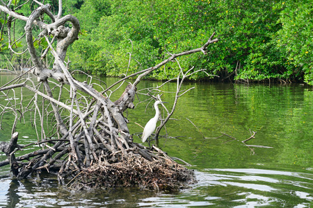 mangrove forest: Egret on the lake