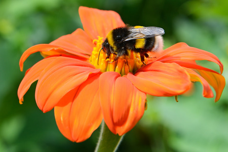 Bumble bee pollinating a flower photo
