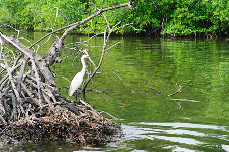 mangrove forest: Egret on the lake Stock Photo