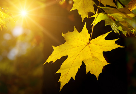 Autumn maple leaf in the sun photo