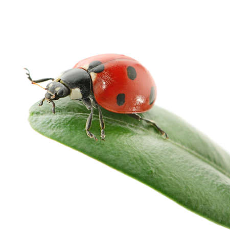 escarabajo: mariquita en la hoja verde aislado en un fondo blanco