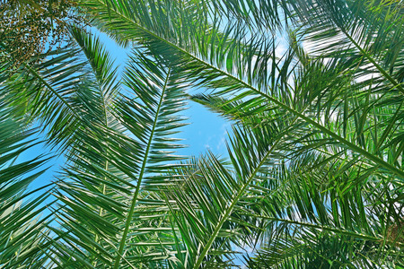 beauteous: Branches of a coconut tree on background sky. Stock Photo