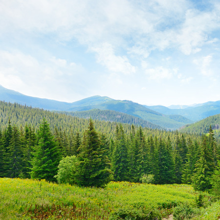 pine green: Beautiful pine trees on background high mountains.