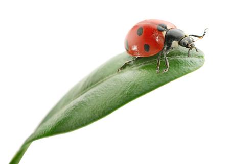 ladybug on leaf: ladybird on green leaf isolated on a white background